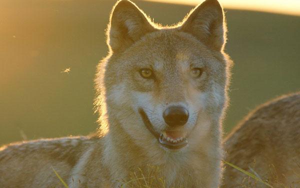 Film Der Wolf
